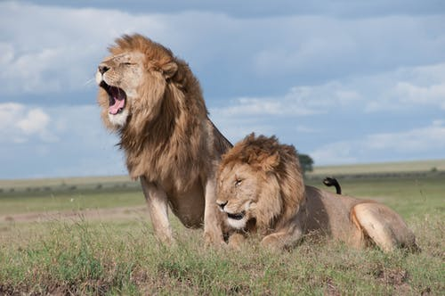 Shallow Focus Photo of Two Brown Lions