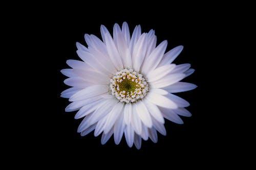 Free stock photo of black background, flowers, white flower