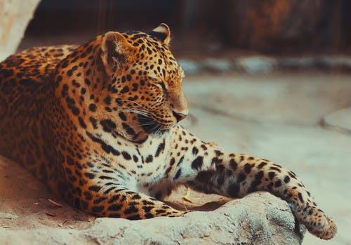 Бесплатное стоковое фото с большой кот, дикая кошка, животное, зоопарк