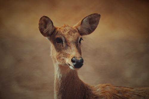 Close-up Photography of A Brown Deer