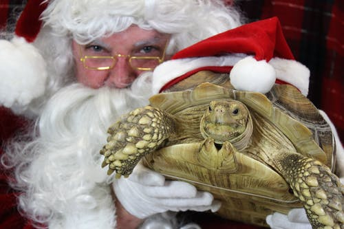 Free stock photo of christmas, santa, turtle