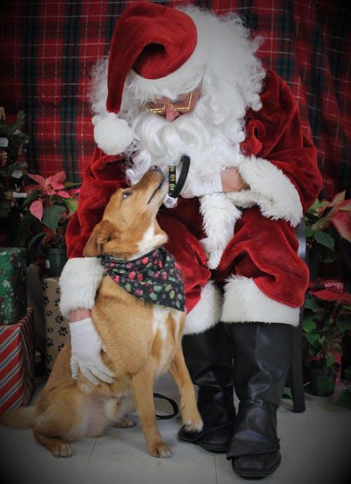 Free stock photo of animal lover, brown dog, christmas, Christmas atmosphere