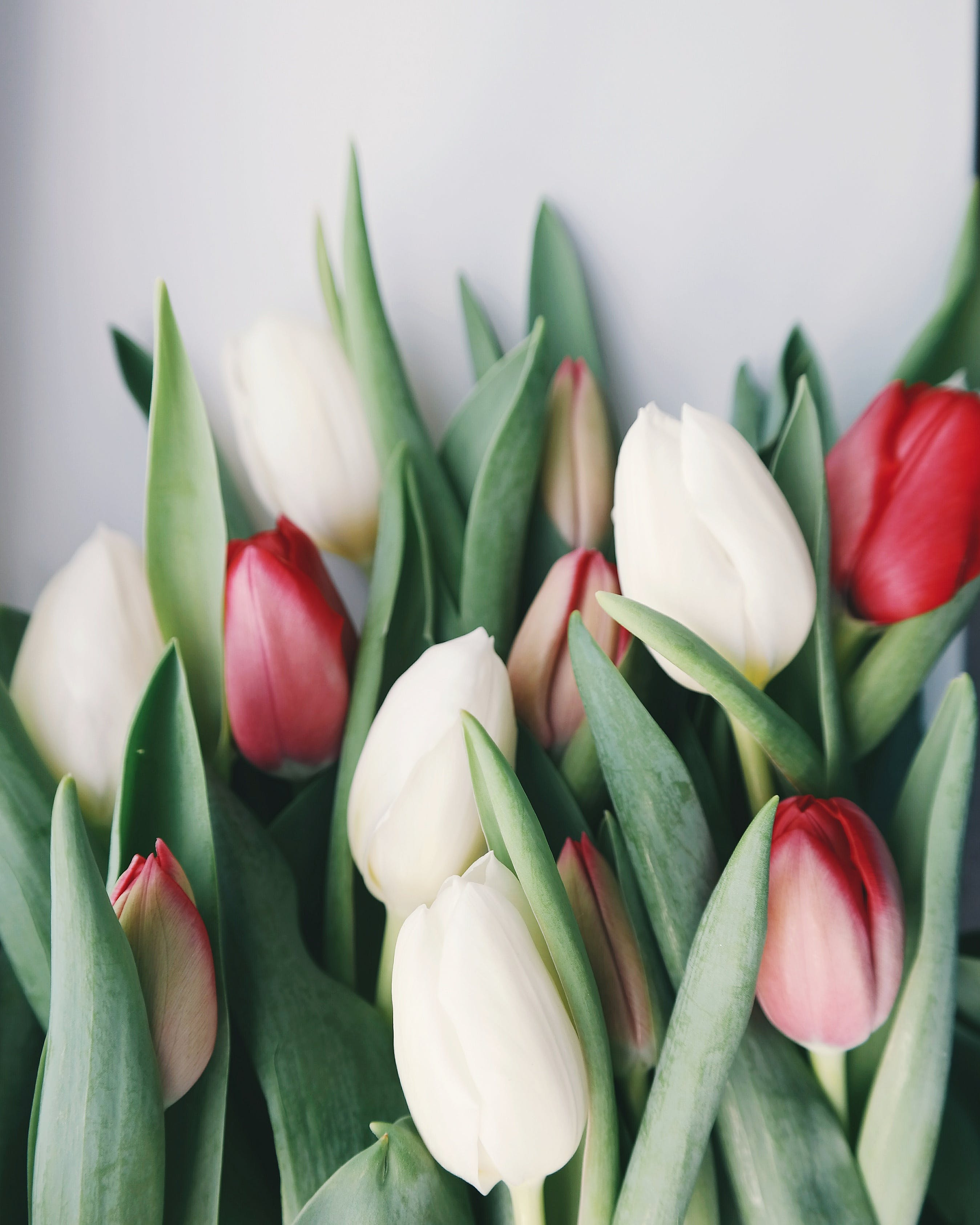 Selective Focus Photography of White and Red Tulip Flowers