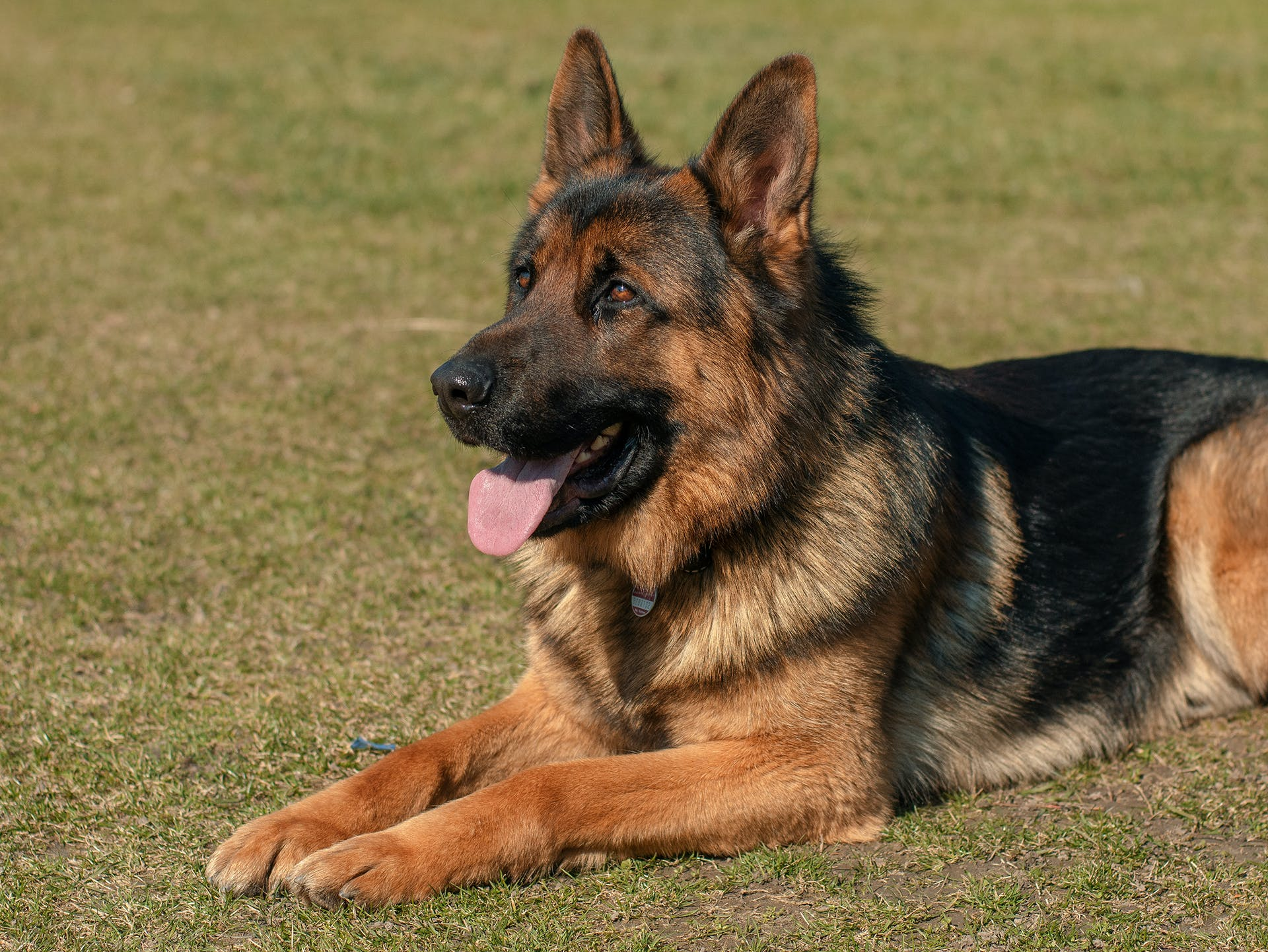 Adult German Shepherd on Grass Field