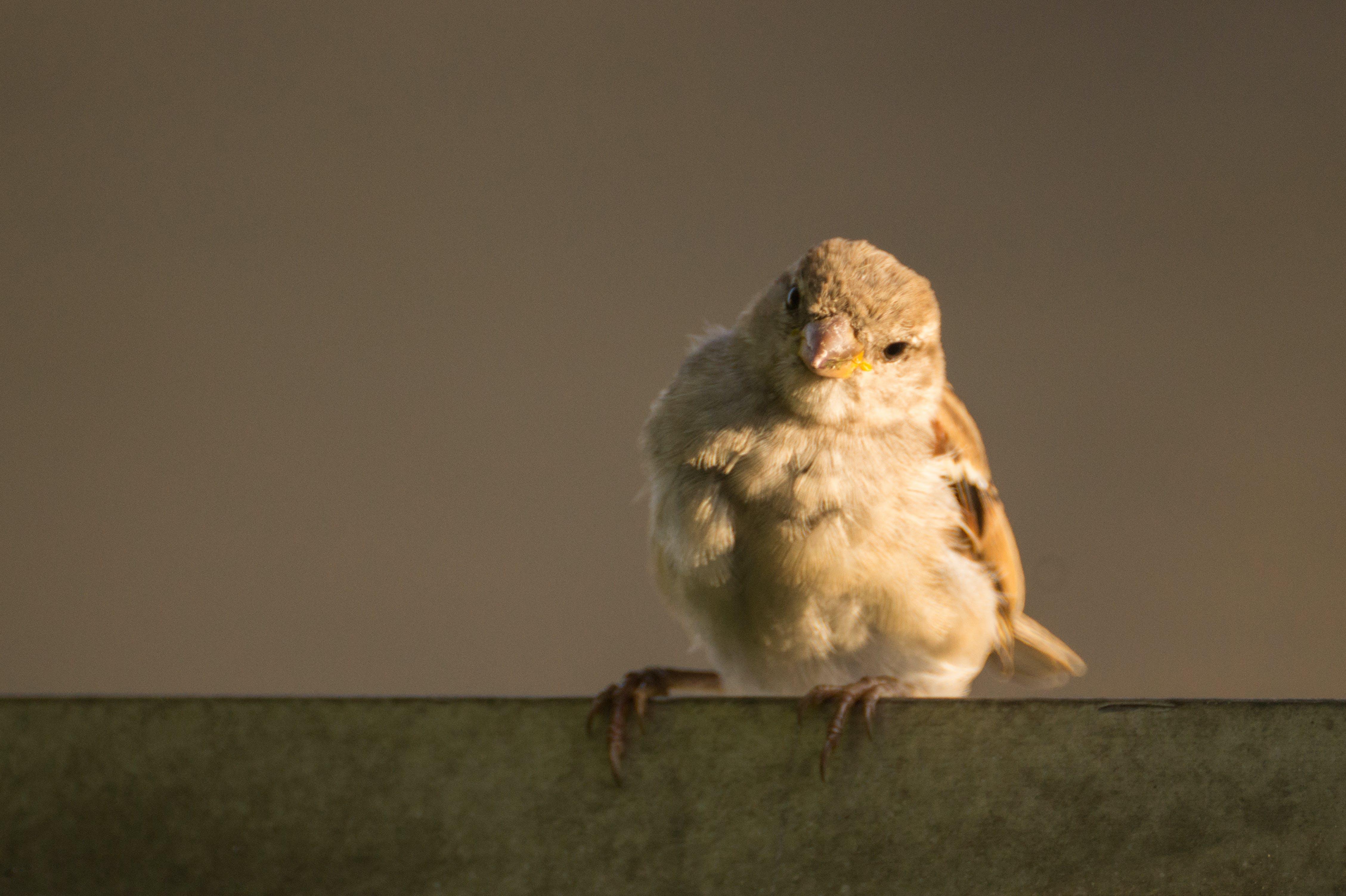 Kostenloses Stock Foto zu spatz, vogel