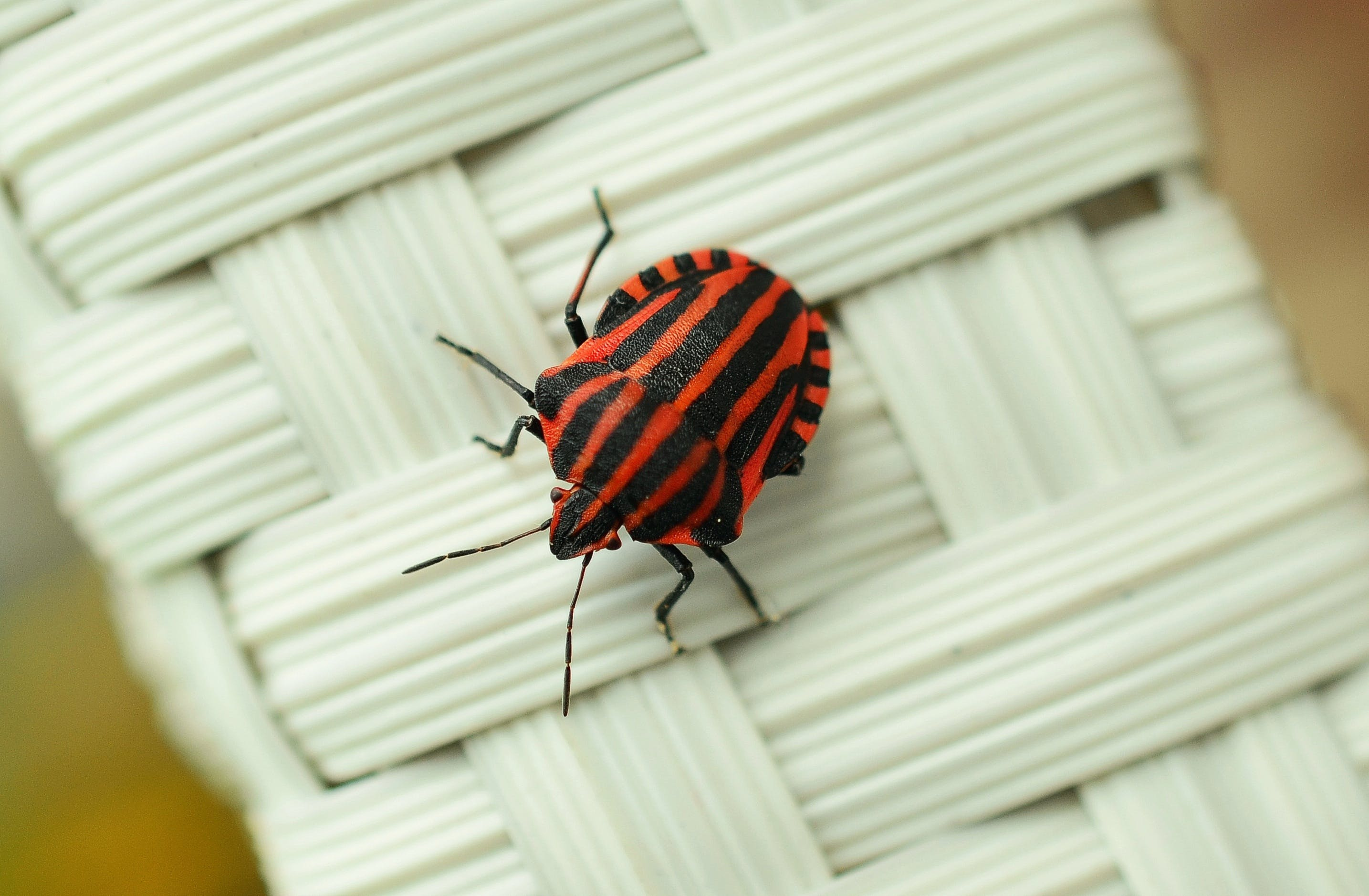 Black and Red Striped Bug on White Wicker Surface