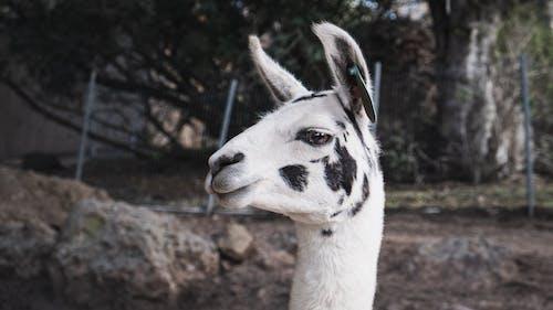 Fotos de stock gratuitas de animal, animal de granja, llama