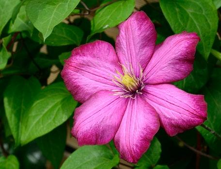 Pink 6 Petaled Flower in Bloom