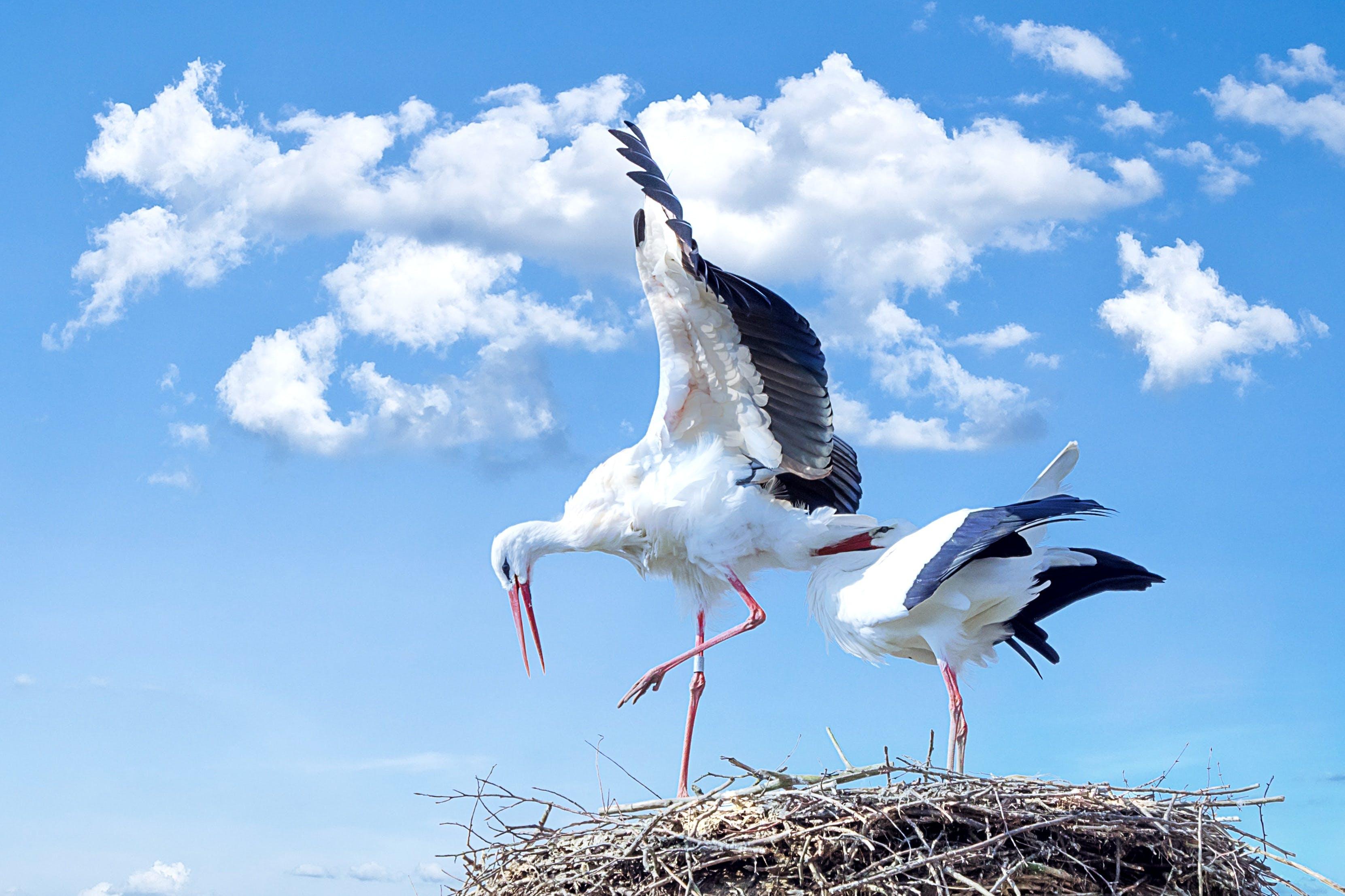 Kostenloses Stock Foto zu nest, störche, tiere
