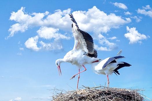 Free stock photo of animals, birds, nest, storks