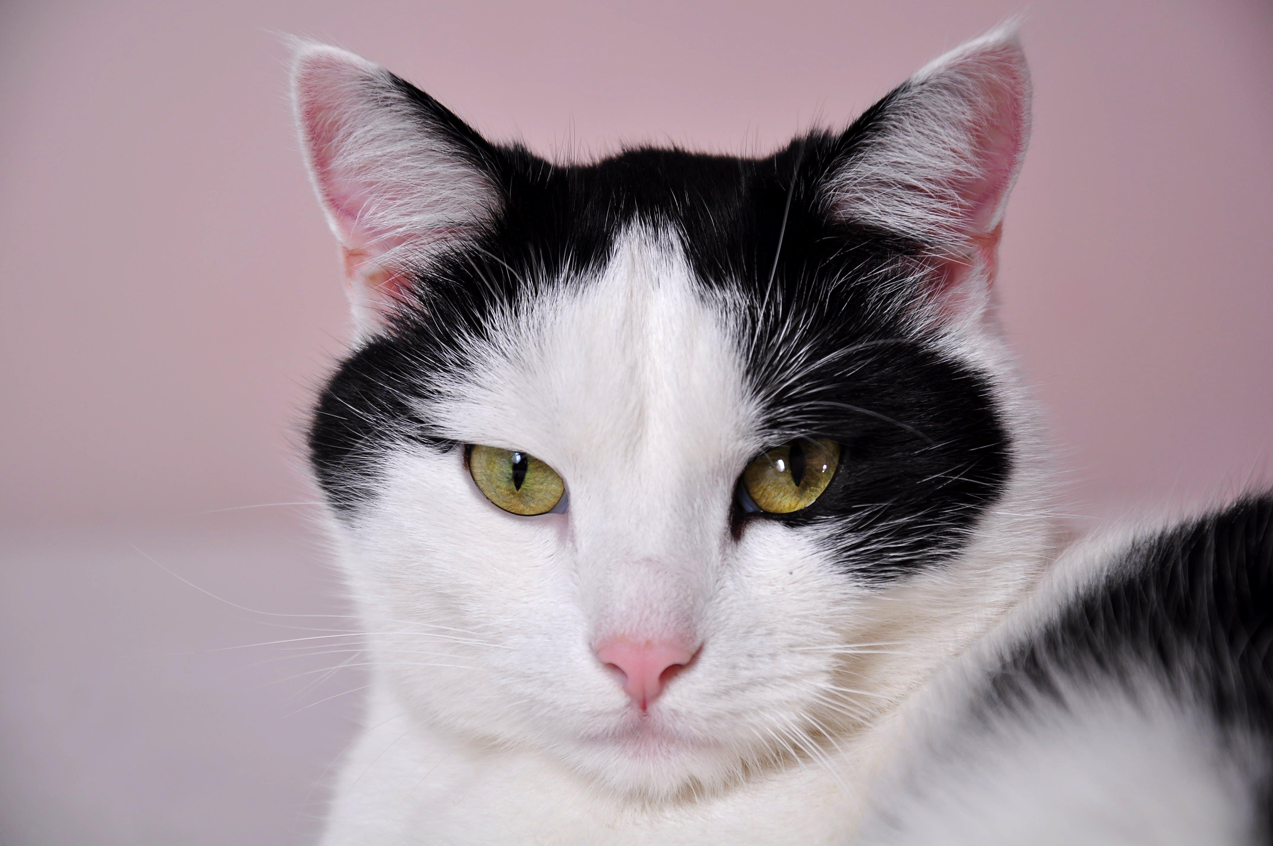 Ảnh lưu trữ miễn phí về cận cảnh, con mèo, con vật, dễ thương