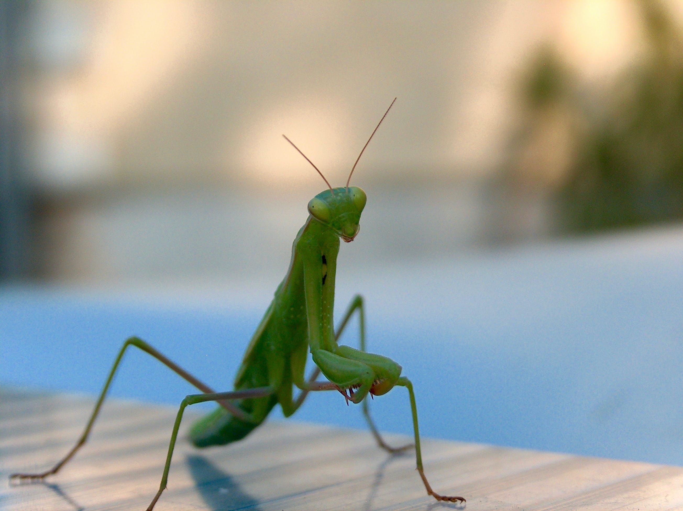 Free stock photo of animal, green, mantis, nature