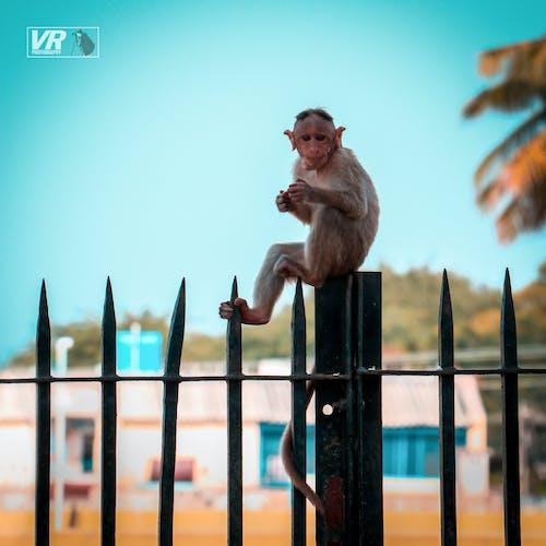 Free stock photo of animal, animals, monkey