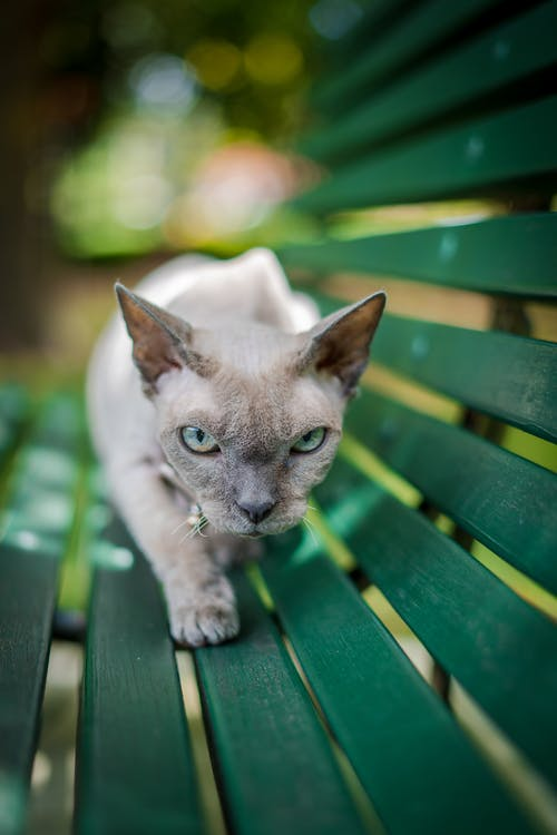 White and Gray Short Fur Cat on Green Wooden Bench