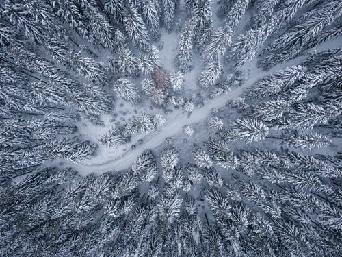 Bird's Eye View Of Pine Trees