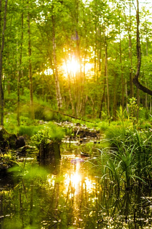 Free stock photo of dense forest, pond, sun