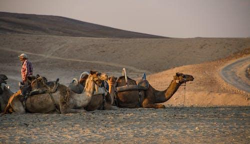 Free stock photo of camel, dessert, israel