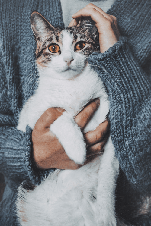 Person Holding A Short-fur White Cat