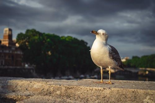 Gratis lagerfoto af fugl, måge, Rom, smart