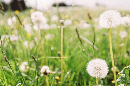 Selective Focus Photo Of Dandelions