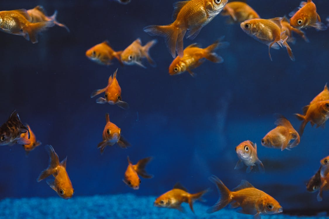 Photo Of Gold Fishes