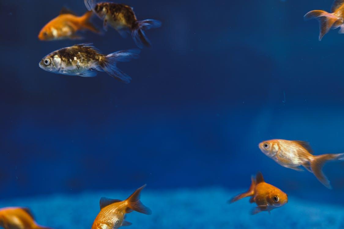 Goldfish Inside the Aquarium