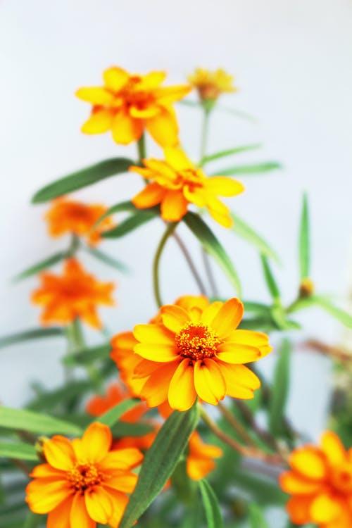Foto stok gratis alam, bunga, bunga-bunga, Jeruk