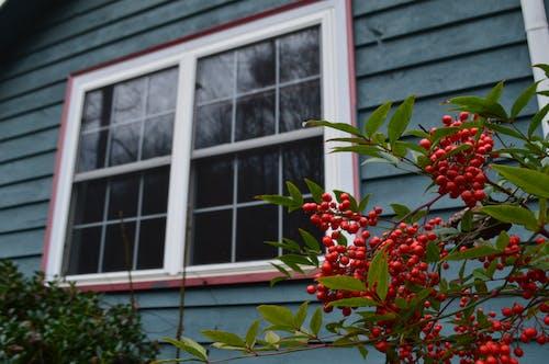 Free stock photo of berries, blue