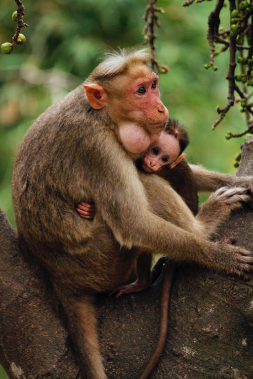 Two Monkeys on Tree