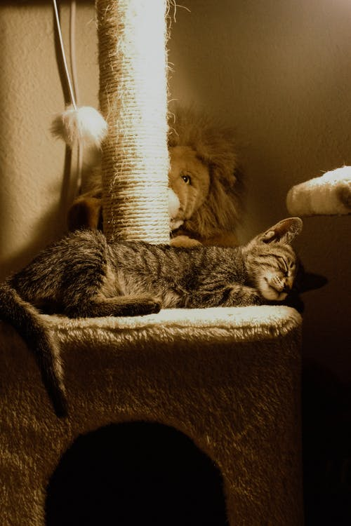 Brown Tabby Cat Lying on Cat Tree