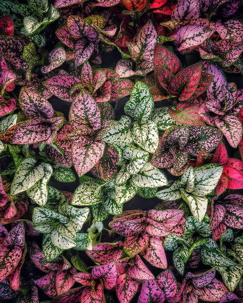 Green and Red Dumb Cane Plants