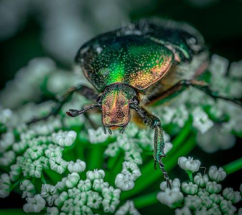 Zbliżenie Green Beetle