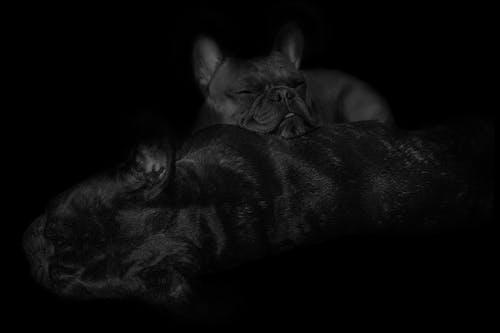 Free stock photo of black and white, bulldog, dog, french bulldog