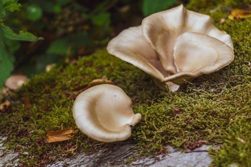 Free stock photo of forest mushroom, mushroom, mushrooms, white mushroom