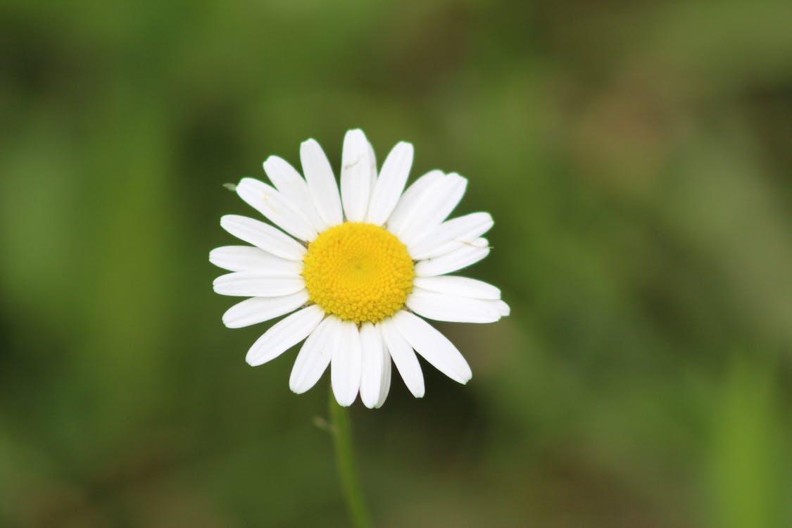Immagine gratuita di fiori, impianti, margherita