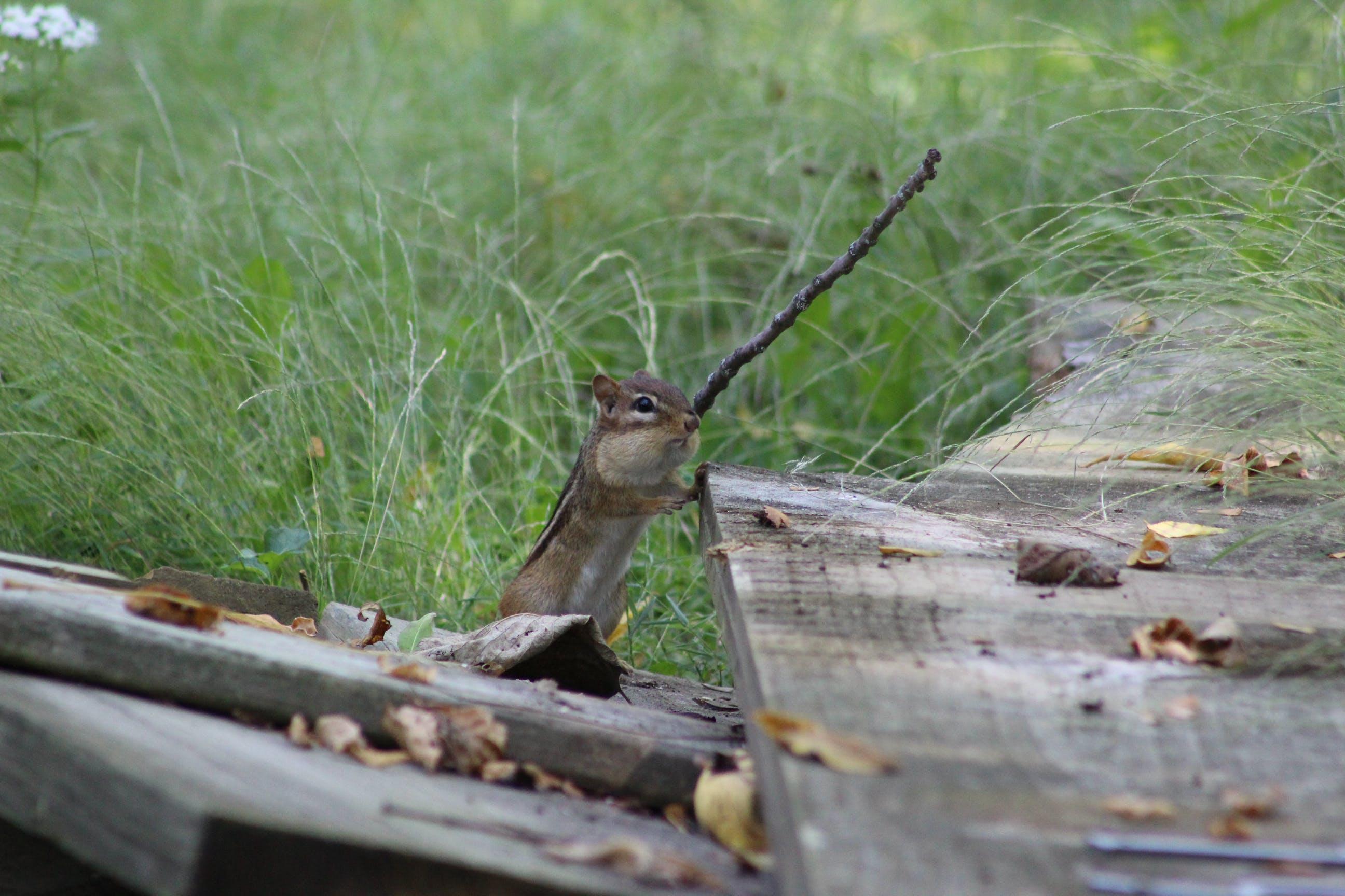 Free stock photo of animals, chipmunk, mammal, nature