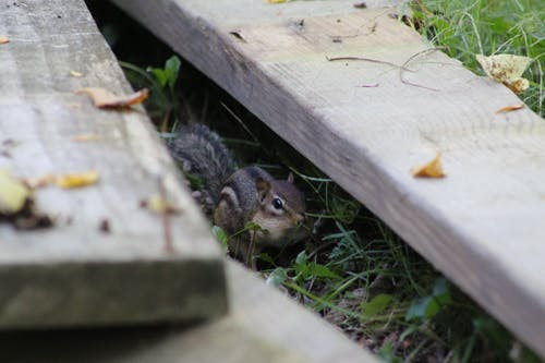 Free stock photo of animals, chipmunk, nature