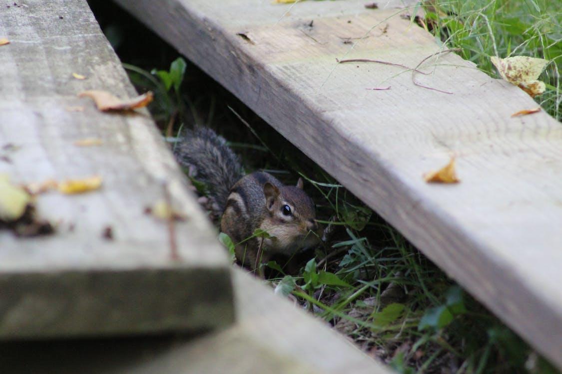 Immagine gratuita di animali, chipmunk, natura