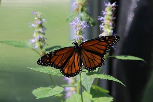Immagine gratuita di farfalla, farfalle, monarca