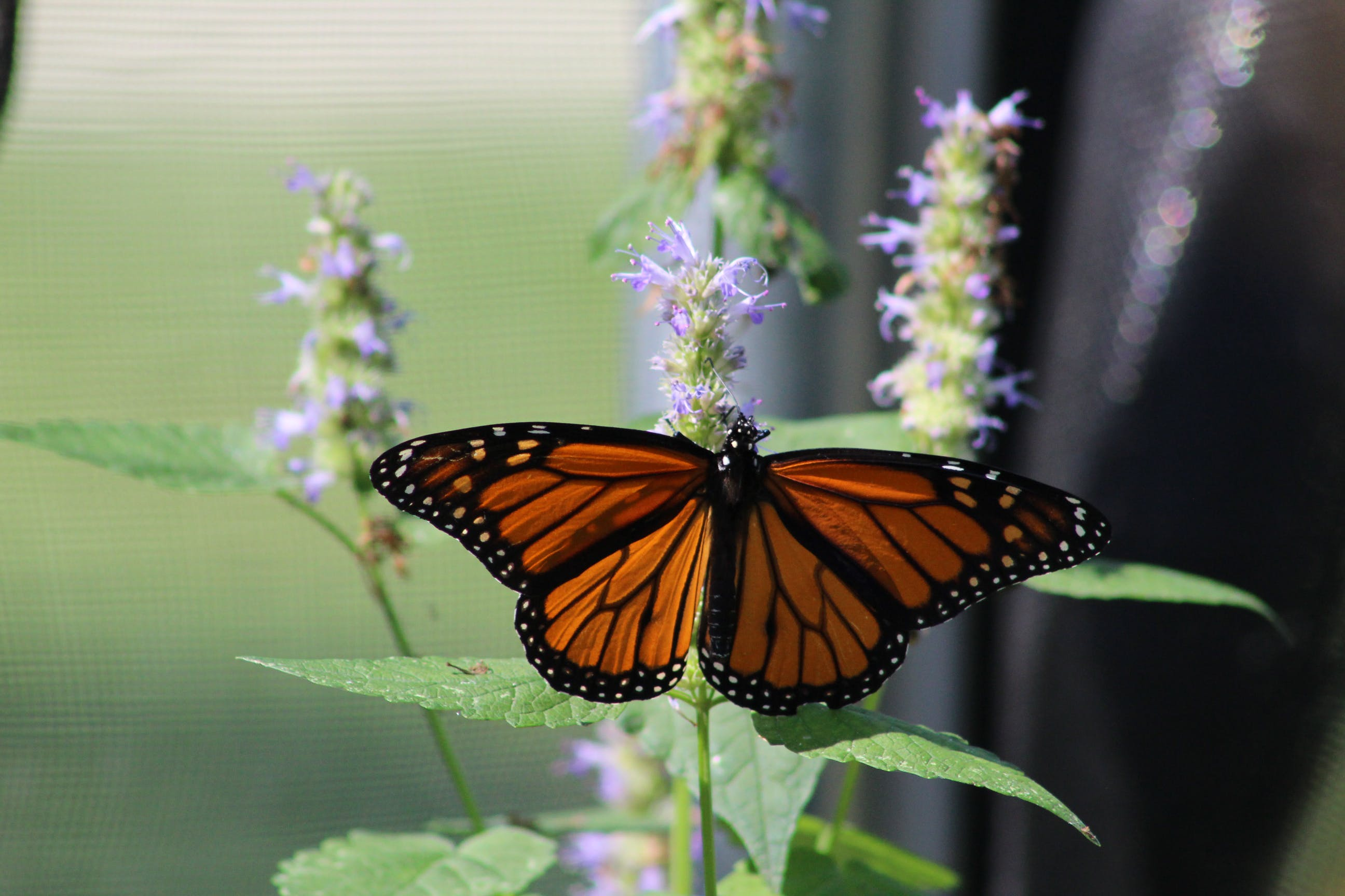 Free stock photo of bugs, butterflies, butterfly, insects
