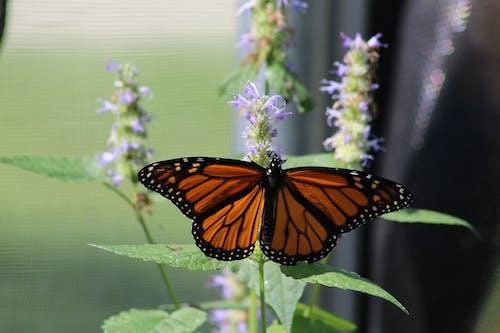 Immagine gratuita di cimici, farfalla, farfalle, insetti
