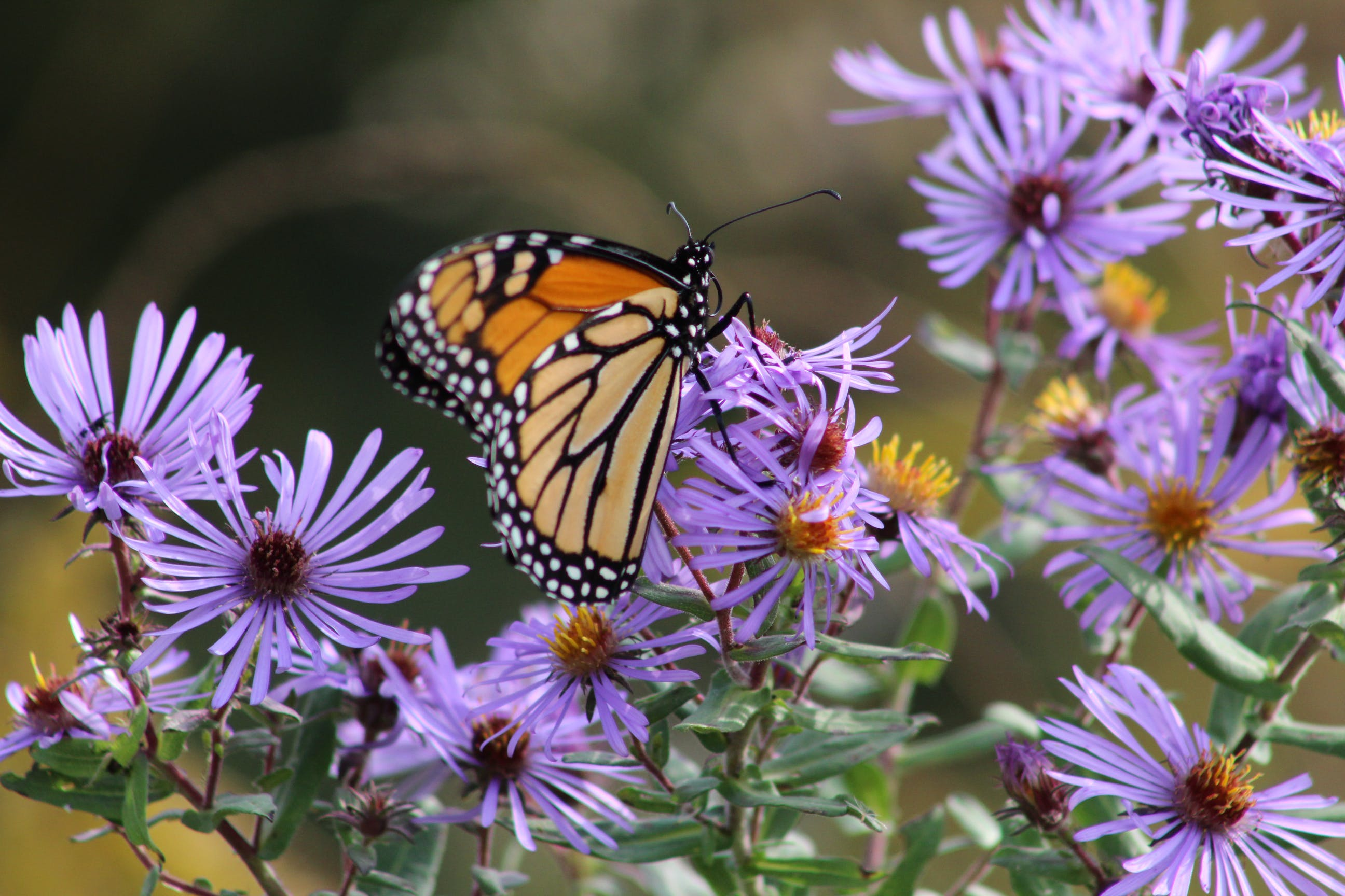 Free stock photo of butterfly, butterfly on a flower, monarch