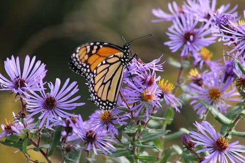 Immagine gratuita di farfalla, farfalla su un fiore, monarca