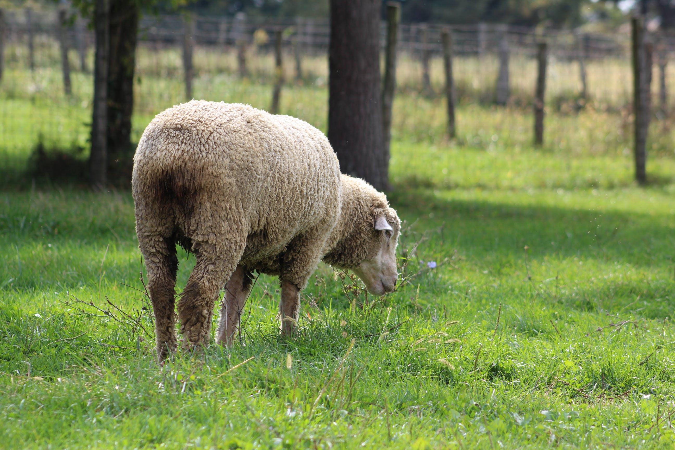 Free stock photo of barn, farm, sheep