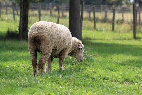 Immagine gratuita di azienda agricola, fattoria, granaio, pecora