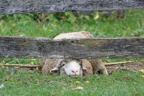 Free stock photo of ewe, farm, sheep
