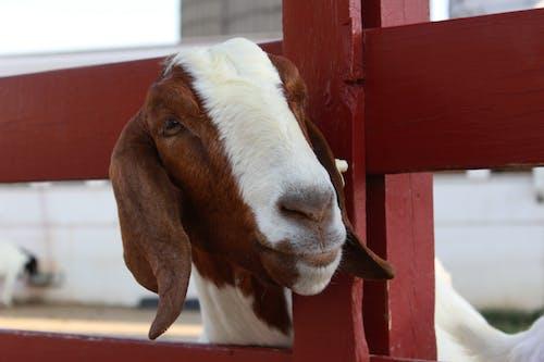 Free stock photo of farm, goat