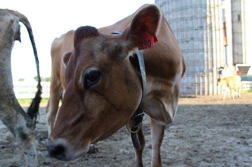 Immagine gratuita di azienda agricola, caseario, fattoria, mucca