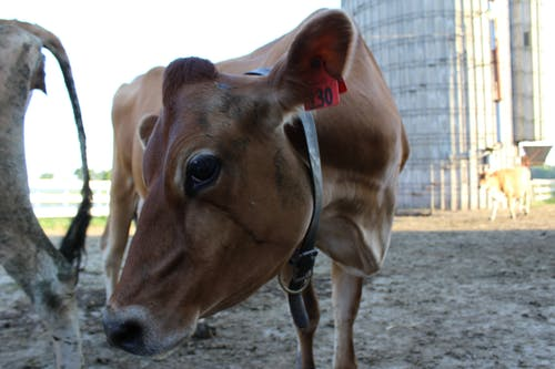 Free stock photo of cow, dairy, farm
