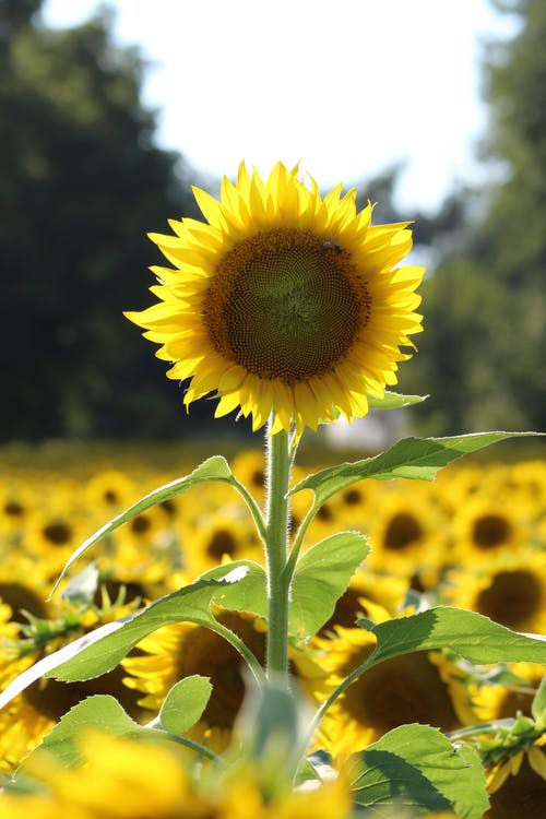 Immagine gratuita di estate, fiore, girasole, natura